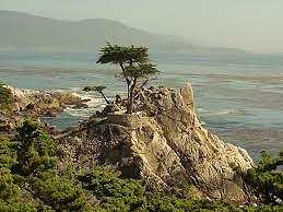 Cypress Tree in Rock