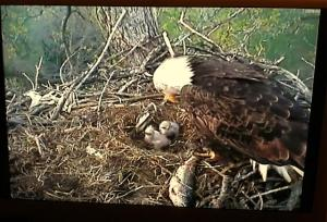 Mother Eagle