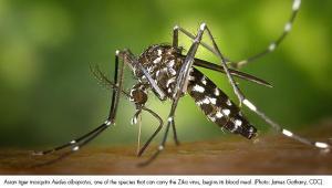 Zika - Mosquito